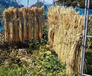 天日干しでゆっくり乾燥させると美味しいお米になる